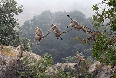 Composite of a langur monkey with baby jumping across a rock near the Ajaypal Shiva Temple, Pushkar, Rajasthan, India