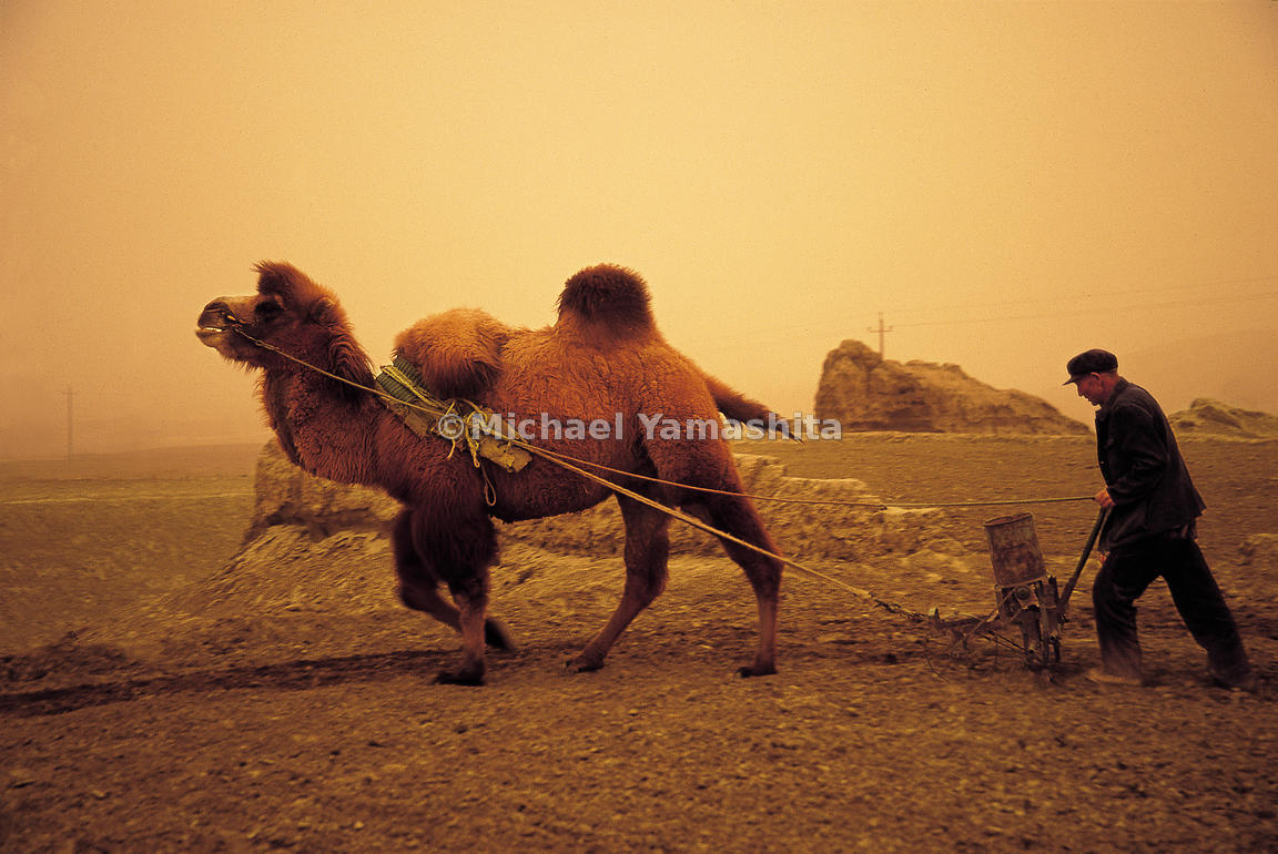 A hairy Bactrian camel is used instead of an ox to plow a field in Gansu, China.
