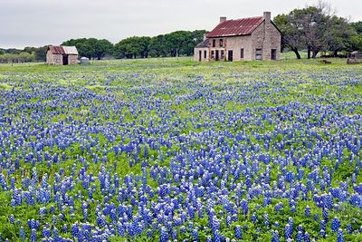 Old Stone House and Bluebonnets #2