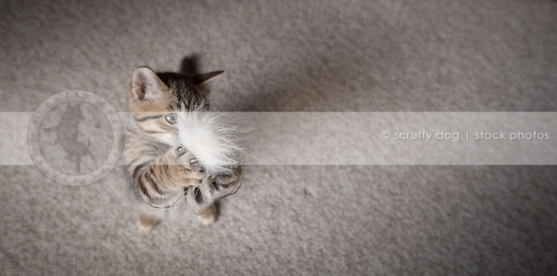 little brown tabby kitten standing on two feet playing with toy