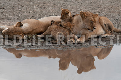 lion_family_reflection_1