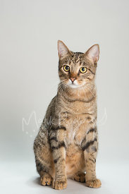 Tabby Cat with Yellow Eyes Sitting Against Grey Studio Background