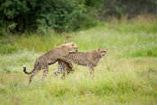 Cheetahs playing (Acinonyx jubatus), Kruger National Park, South Africa