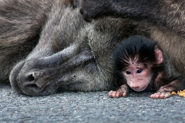 Mother and baby chacma baboon from the Smitswinkel troop on M4 near Simon's Town,Cape Peninsula, South Africa
