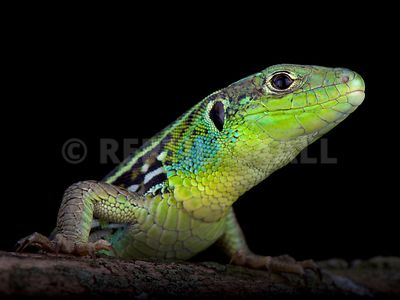 Three-lined green lizard (Lacerta media media) photos
