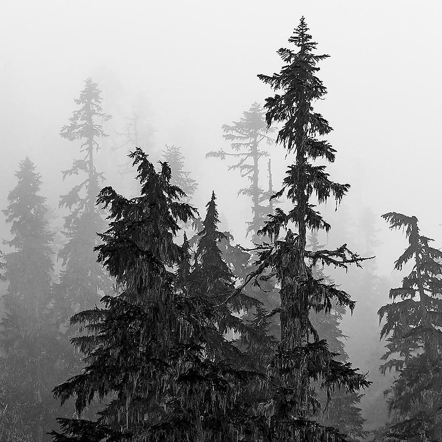 HEMLOCKS IN THE CLOUDS