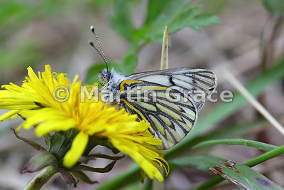 Andean White butterfly (Tatochila theodice) on native Dandelion flower (Taraxacum gilliesii), Torres del Paine National Park,...