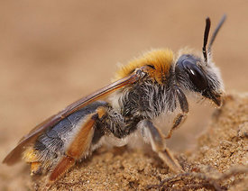 Andrena haemorrhoa, female
