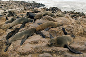 Cape fur seal colony at Cape Cross. The Cape fur seal (Arcocephalus pusillus pusillus) is endemic to Southern Africa. Cape Cr...