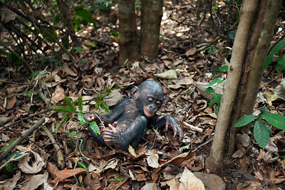 Bonobo (Pan paniscus) male baby 'Bomango' aged 10 months playing on the forest floor, Lola Ya Bonobo Sanctuary, Democratic Re...