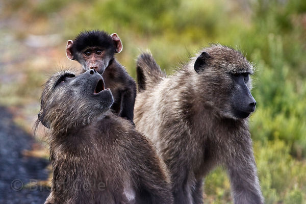 Chacma baboons from the Kanonkop troop, Smitswinkel Flats, Cape Peninsula, South Africa