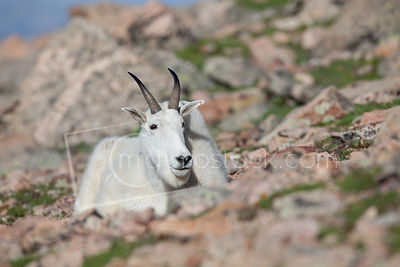 Mountain Goats photographed near the top of Mount Evans in Colorado.