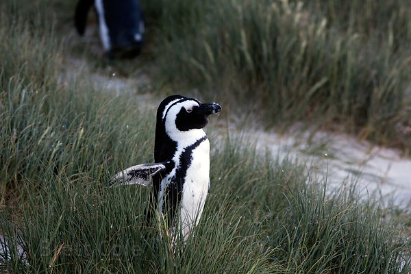 African penguin (Spheniscus demersus) in beach grass at dusk, Boulders Beach, South Africa