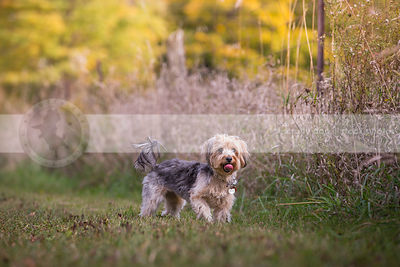 cute terrier cross breed dog standing in grass in park in autumn