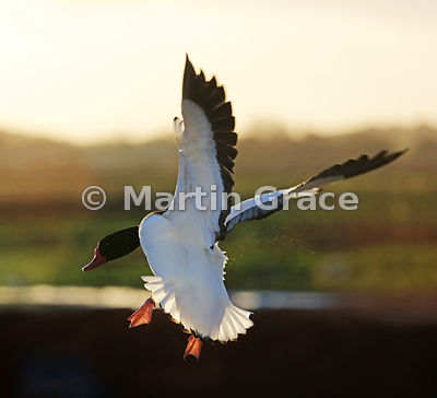 Common Shelduck (Tadorna tadorna) flying into late afternoon sunlight, Lancashire, England