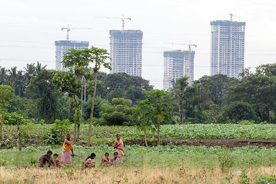 Farm workers pick lettuce in the East Calcutta Wetlands, with large apartments under construction in the distance, Dhapa, Kol...