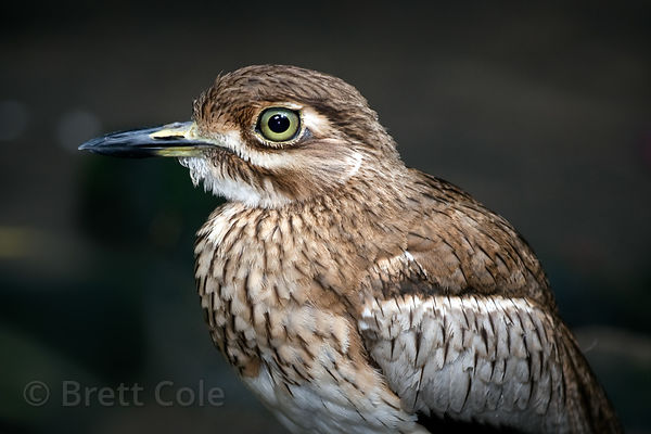Spotted Thick-knee (Burhinus capensis), World of Birds, South Africa