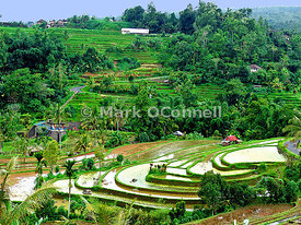 Bali rice fields ii