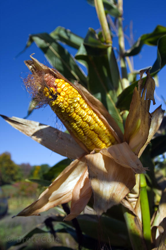 Corn on a farm in the Adirondacks, New York