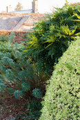 Bright, contrasting evergreen foliage of variegated box, mahonia and euphorbia. Coates Manor, Coates, Fittleworth, West Susse...