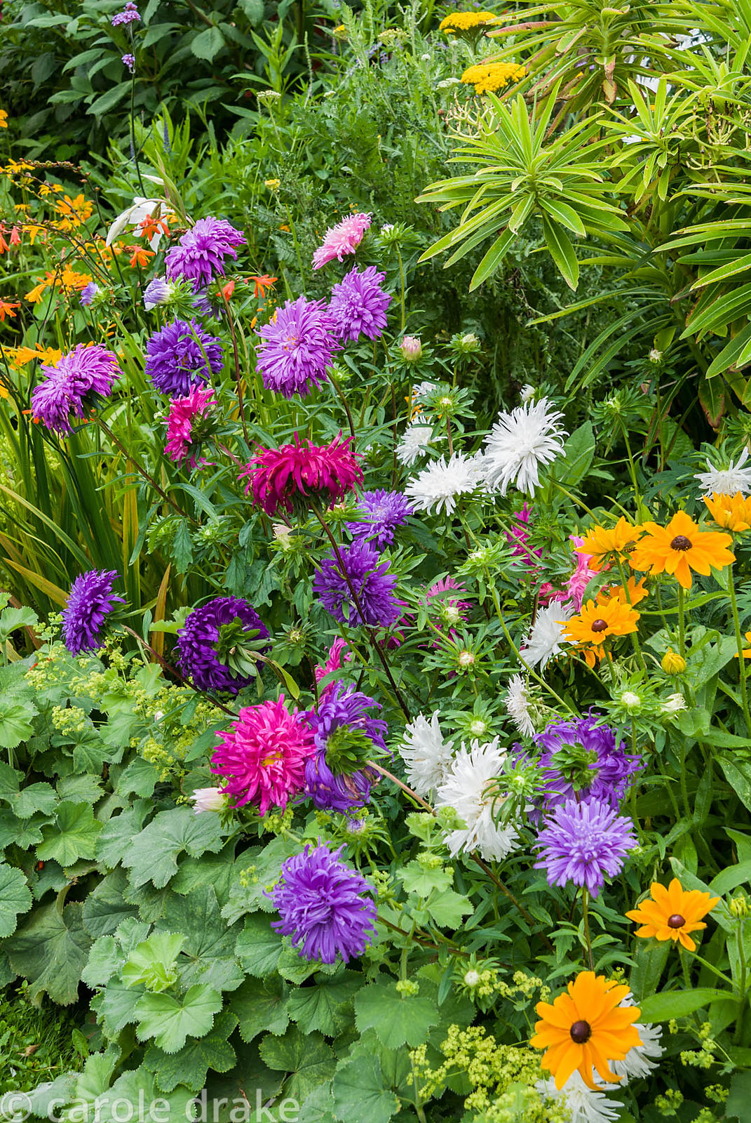 Annual Aster 'Ostrich Plume Mixed' with Rudbeckia 'Marmalade' in ornamental border edged with Alchemilla mollis. The Shute, n...