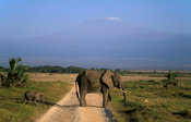 African elephant with young in front of Mount Kilimanjaro, Loxodonta africana africana, Amboseli National Park, Kenya