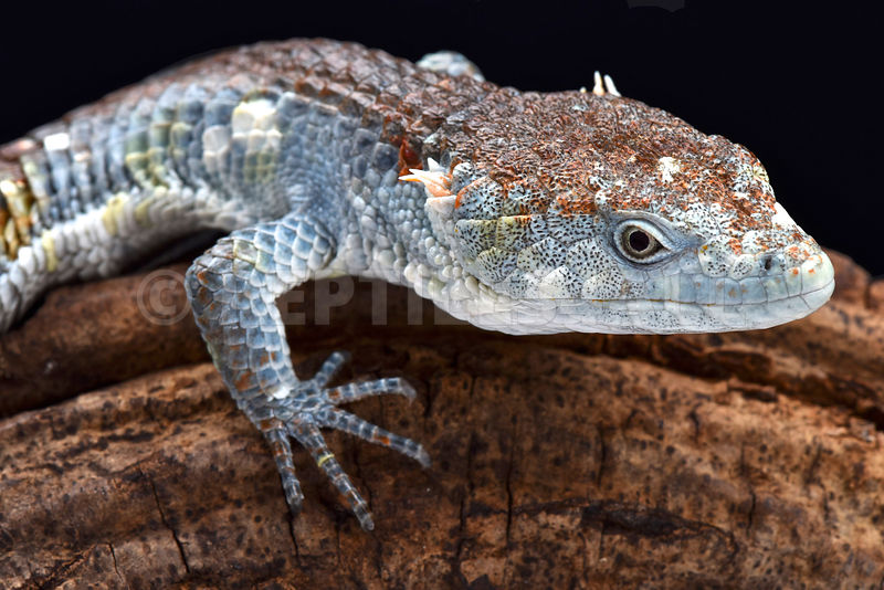 Red-lipped Arboreal Alligator Lizard (Abronia lythrochila)