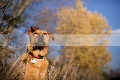 handsome tan mixed breed dog basking in autumn sunshine