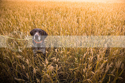 intense brown speckled dog staring upward from wheat field