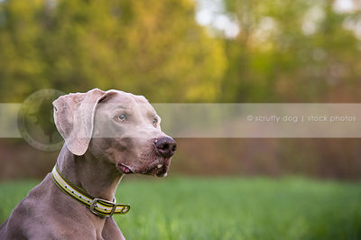 portrait of alert serious  grey gundog with minimal background