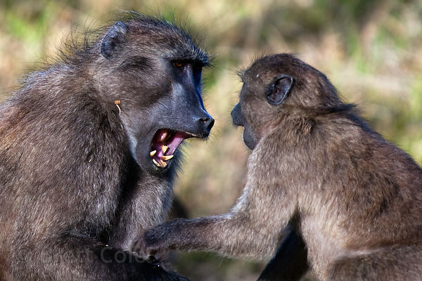 Chacma baboons from the Smitswinkel troop playfight, Cape Peninsula, South Africa