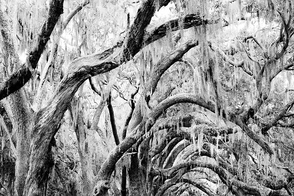 LIVE OAKS SPANISH MOSS CUMBERLAND ISLAND GEORGIA BLACK AND WHITE