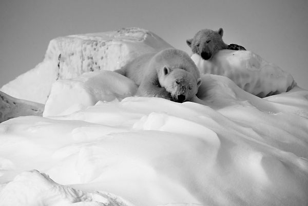 7682-Polar_bears_on_the_snow_Laurent_Baheux_