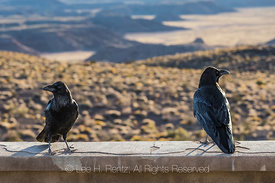 Common Raven in Petrified Forest National Park