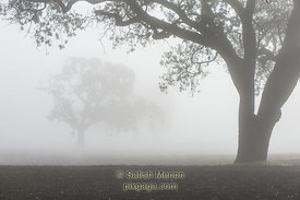 Trees in heavy fog, Morgan Hill, CA, USA