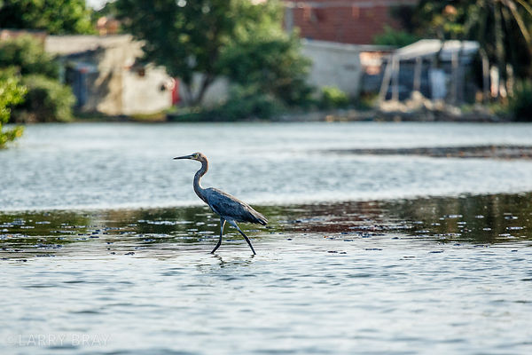 Heron on the edge of a mangrove swamp, in Cartagena, Colombia