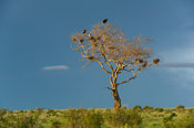 Vultures in a bare tree with stormy sky, Tsavo East National Park, Kenya