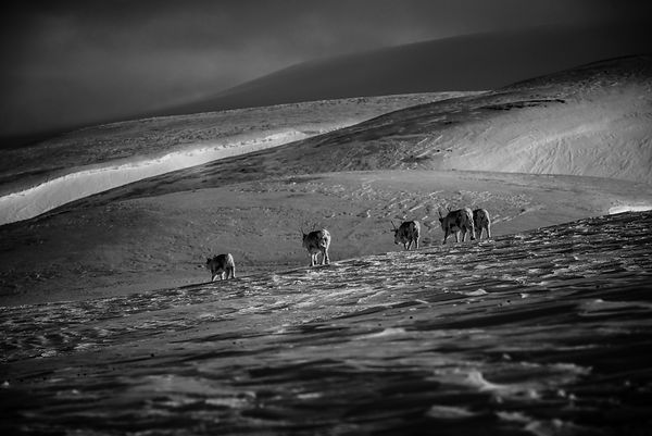 8904-Five_reindeers_walking_on_the_snow_Laurent_Baheux