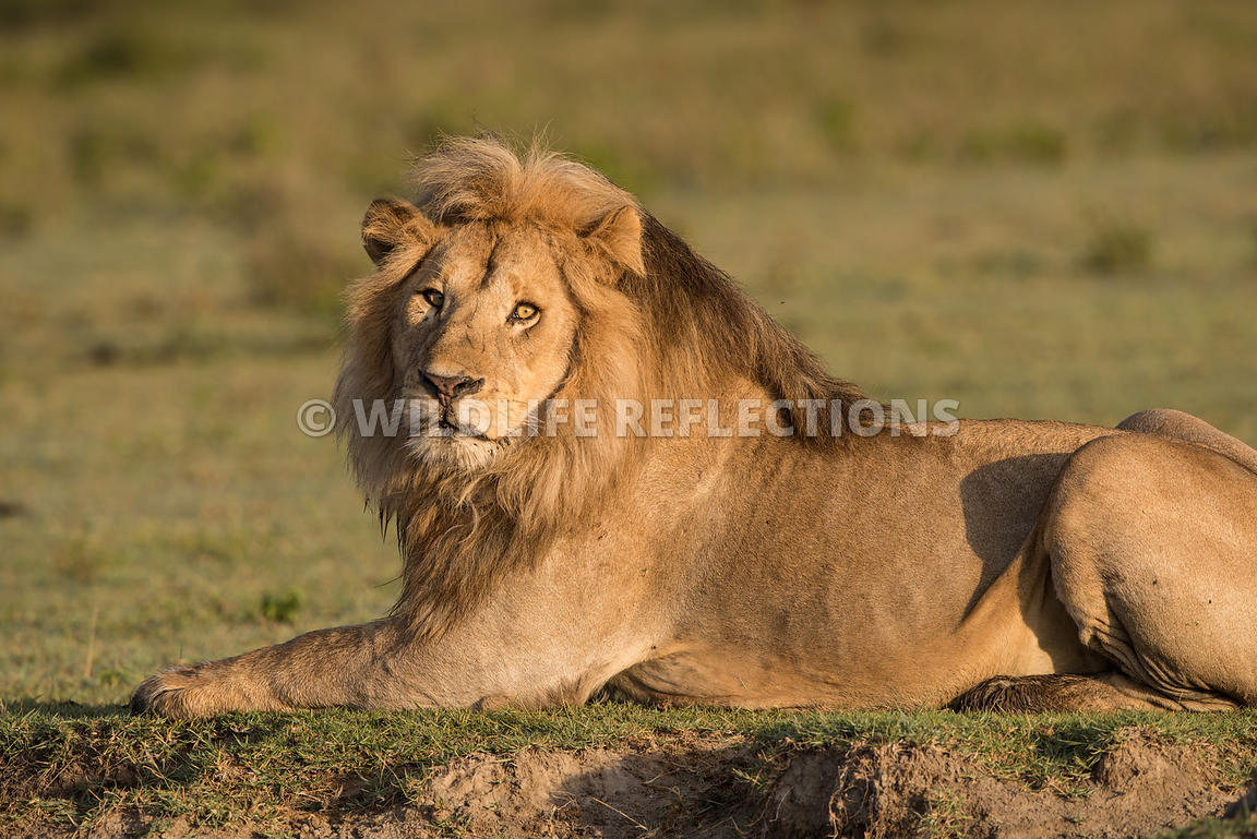 male_lion_resting_ndutu_02202015-3