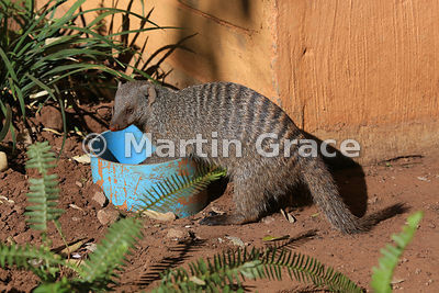 Banded Mongoose (Mungos mungo) exploring in the grounds of Chobe Marina Lodge, Kasane, Botswana