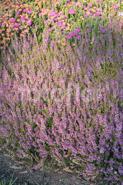 Calluna vulgaris 'Marlies', bruyère commune, rose