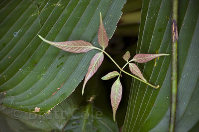 Dainty plant set against much larger leaf, Las Nubes, Costa Rica