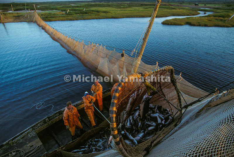Salmon may run but they can't hide from Iturup fishermen, who unload a weir strung across the Reydovaya River. For all the we...