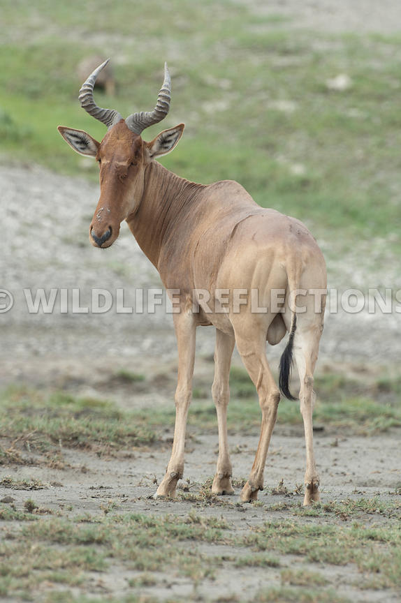 hartebeest_male_standing_slight_turn_vertical