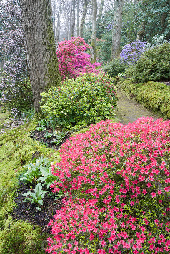 Woodland walk below mature oaks, carpeted with emerald moss, framed by  evergreen Kurume azaleas including forms of Rhododend...
