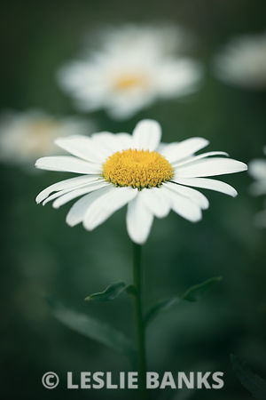 Shasta Daisy with Vintage Effect