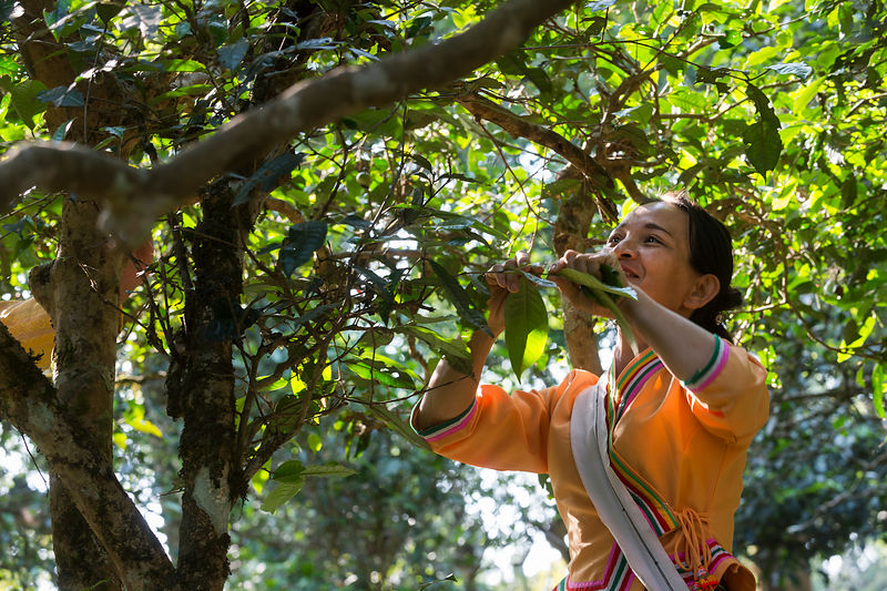 Bulang woman picking tea from 0ld trees (500 years), Ai Leng Mountain, Jingmaishan, Simao Yunnan