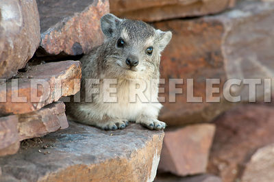 Hyrax Rock Wall Watch 1
