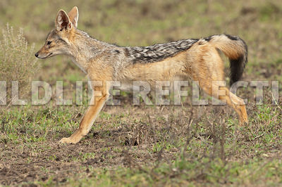 black_backed_jackal_stretch_profile_3