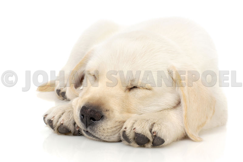 Puppy sleeping on paws